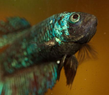 illnesses - Goldfish |Fish With Popeye